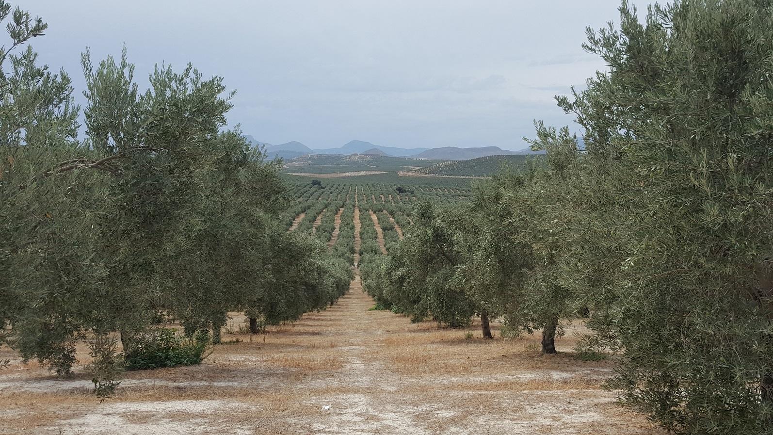 Prečo je extra panenský olivový olej výnimočný
